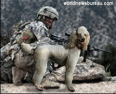 Army poodle