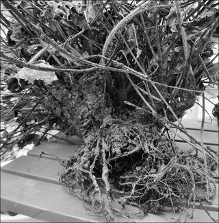 Uprooted plant
